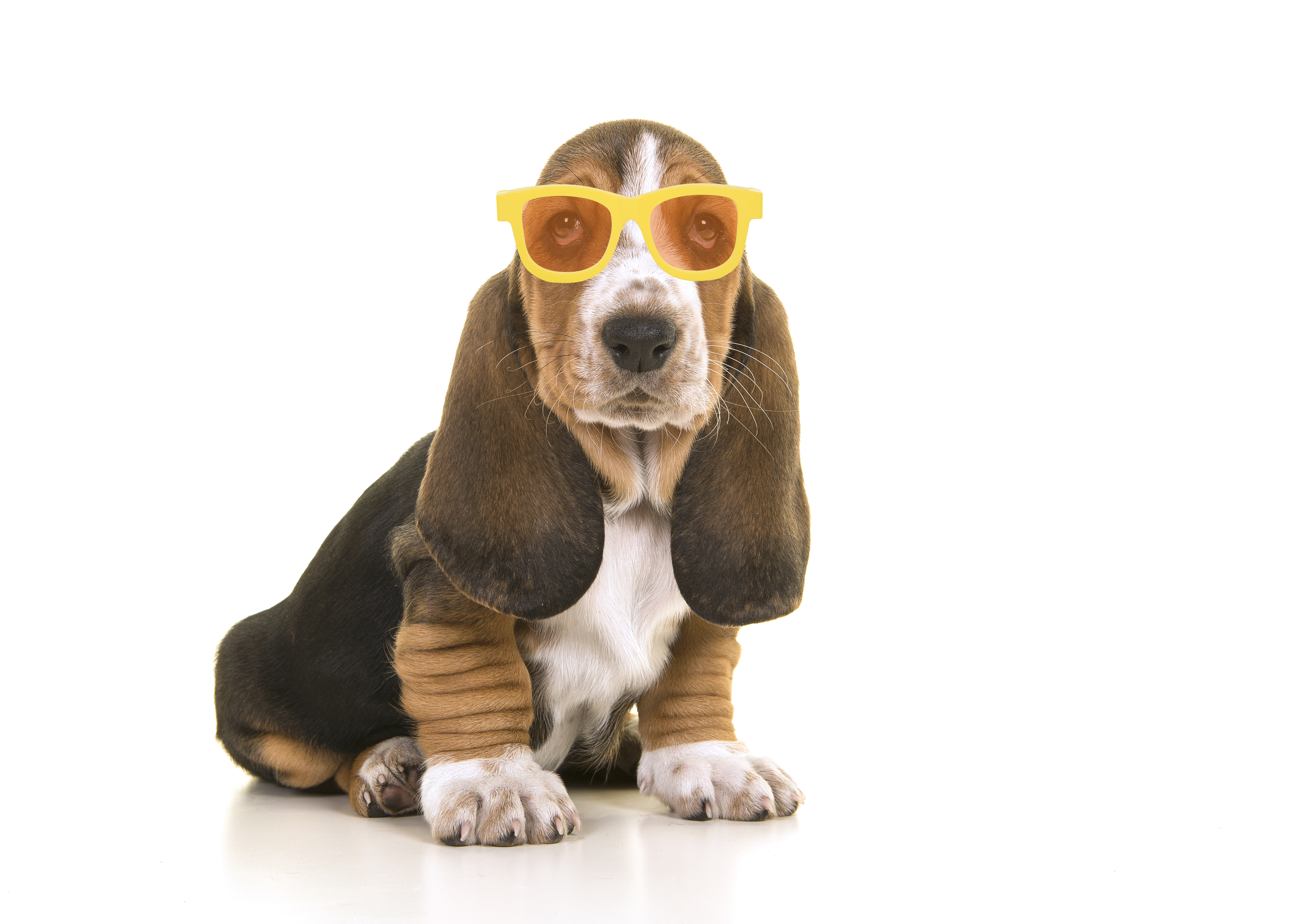 Cute sitting tricolor basset hound puppy wearing yellow and orange sunglasses on a white background